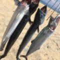 ショアジギング【サーフ】志賀島 サゴシが大量発生