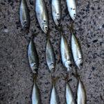 波津漁港でサビキ釣り【20㎝↑アジ釣れた】
